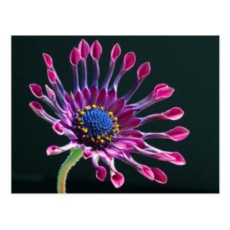 Postal Margarita africana púrpura hermosa