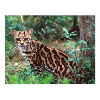 Postal Margay, wiedi de Leopardus, nativo a México en