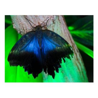 Postal Mariposa azul común