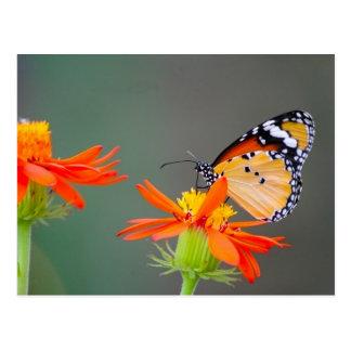 Postal Mariposa de monarca africana en la flor anaranjada