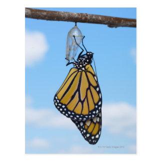 Postal Mariposa de monarca, con la crisálida