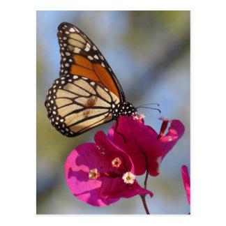 Postal Mariposa de monarca en el flor del bougainvillea
