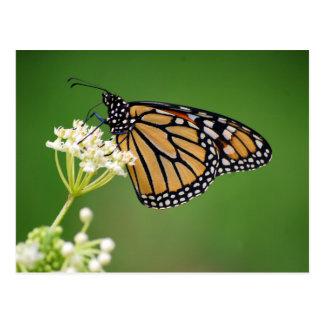 Postal Mariposa de monarca en la flor blanca del Milkweed