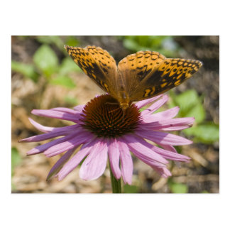 Postal Mariposa en un Coneflower púrpura