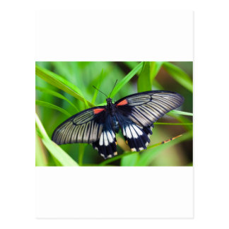 Postal Mariposa negra, blanca y roja hermosa