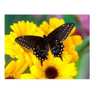 Postal Mariposa negra de Swallowtail