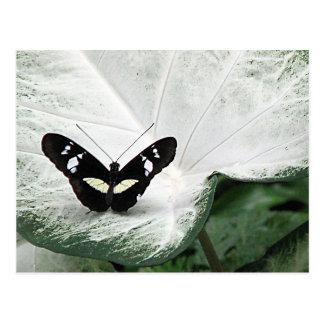 Postal Mariposa negra en la hoja blanca del Caladium