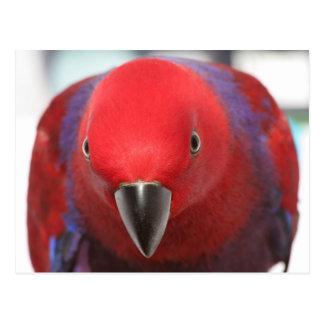 Postal Mascota femenino rojo del loro de Eclectus de la