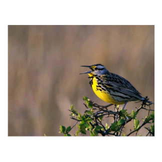 Postal Meadowlark occidental