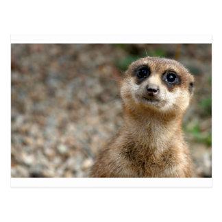 Postal Meerkat Grande-Observado lindo
