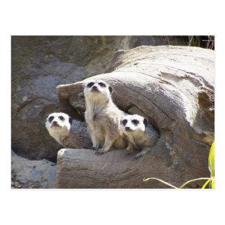 Postal Meerkats