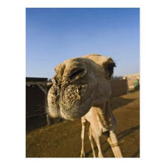 Postal Mercado del camello, El Cairo, Egipto