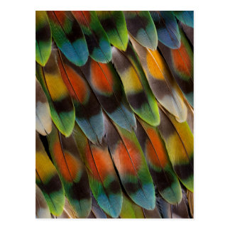 Postal Modelo de la pluma del Lovebird