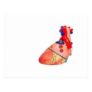 Postal Modelo humano del corazón en el fondo blanco