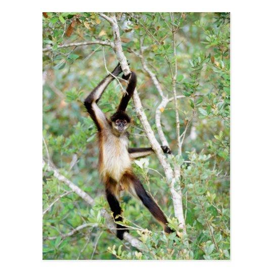 Postal Mono de araña en el parque zoológico de Belice