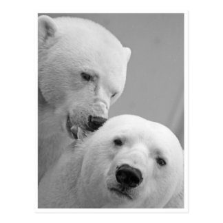 Postal Mordiscos del oso polar