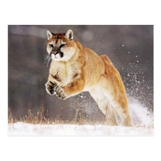 Postal Mountain Lion (Cougar)