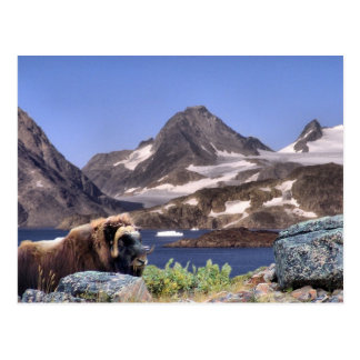 Postal Muskus en Groenlandia