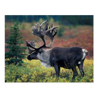 Postal NA, los E.E.U.U., Alaska, Denali NP, caribú 3 de