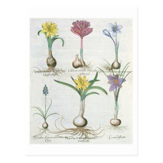 Postal Narcisos, azafranes y jacinto: autum 1.Narcissus