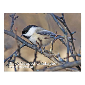 Postal Negro-Capsulada del Chickadee