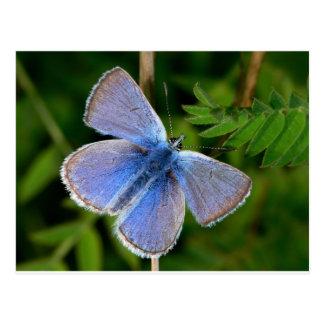 Postal niebla azul melenuda de las mariposas