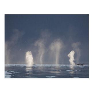 Postal Novaeangliae del Megaptera de las ballenas