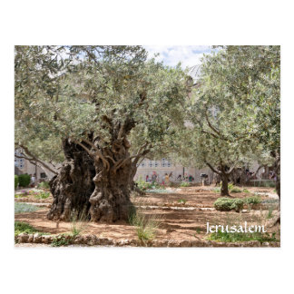 Postal Olivos en Gethsemane, Jerusalén, Israel