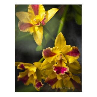 Postal Orquídea de la belleza de Potinara Burana