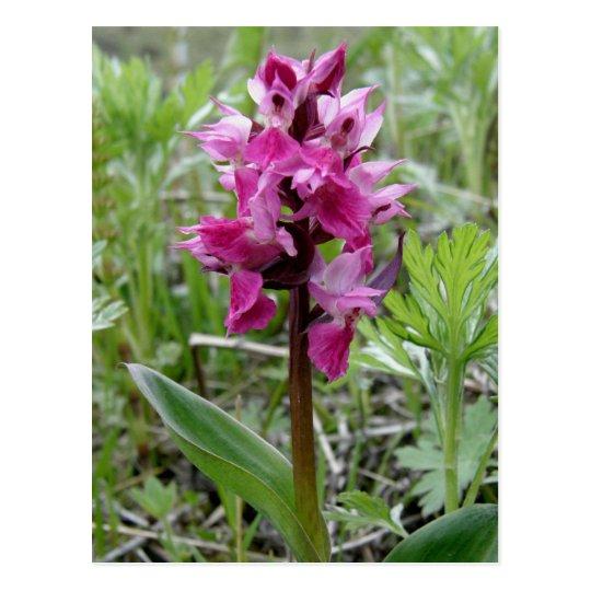 Postal Orquídea púrpura del pantano, isla de Unalaska