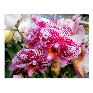 Postal Orquídeas rosadas del Dendrobium