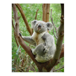 Postal Oso de koala que se sienta en el árbol en el
