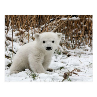 Postal Oso polar del bebé