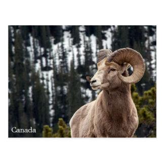 Postal Ovejas de Bighorn - Canadá