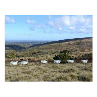 Postal Ovejas de Dartmoor