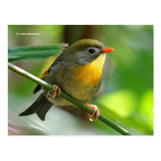 Postal Pájaro cantante colorido del petirrojo de