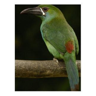 Postal Pájaro Carmesí-rumped Aulacorhynchus de Toucanet