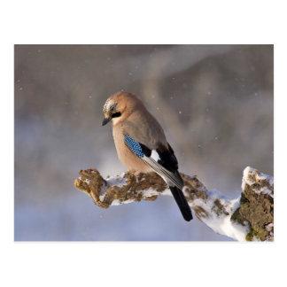 Postal Pájaro de Jay que se sienta en una rama