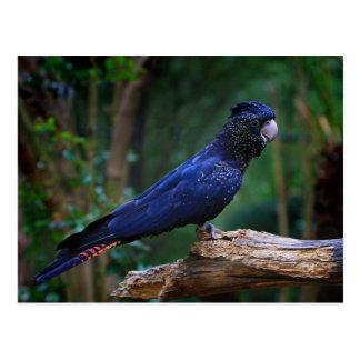 Postal pájaro Rojo-atado del cockatoo