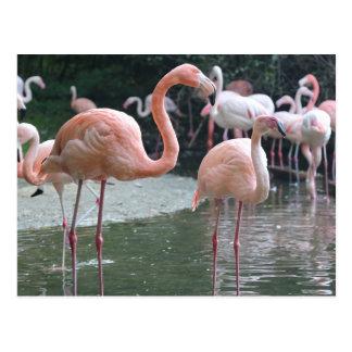 Postal Pájaros del flamenco
