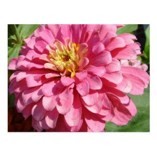 Postal Palidezca - el Zinnia rosado