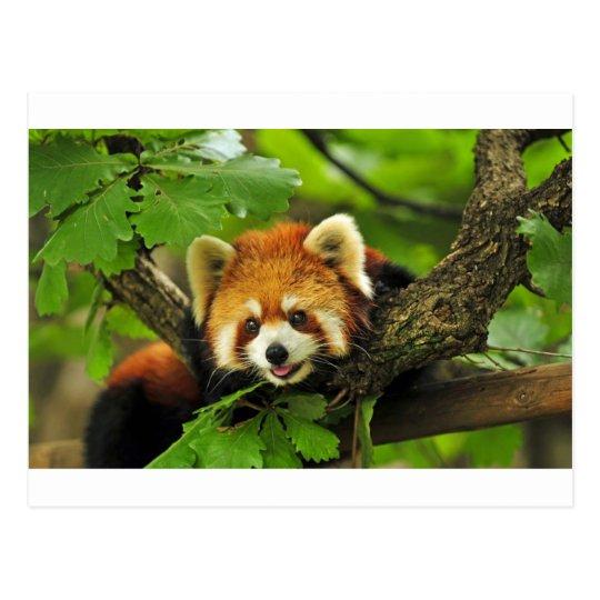 Postal Panda roja Cub