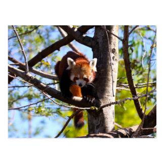 Postal Panda roja que sube abajo el árbol