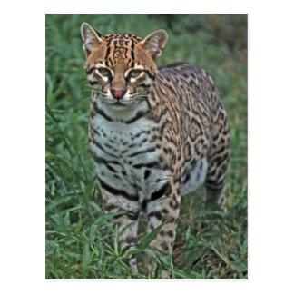 Postal Pardalis) de Leopardus del OCELOT AMERICA CENTRAL