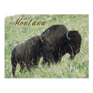 Postal Pares del bisonte que pastan en Montana