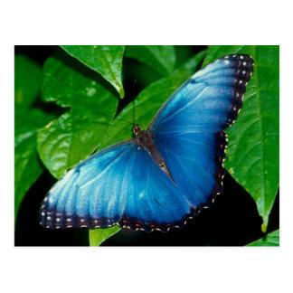 Postal Peleides Blue Morpho (Morpho de peleides)