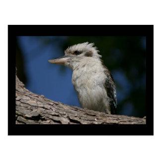 Postal Pequeño kookaburra