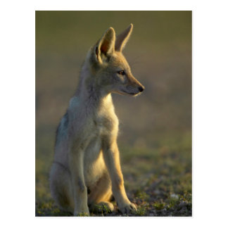 Postal Perrito de espalda negra del chacal (Canis