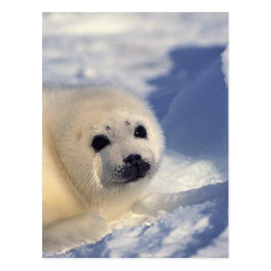 Postal Perrito de foca de Groenlandia