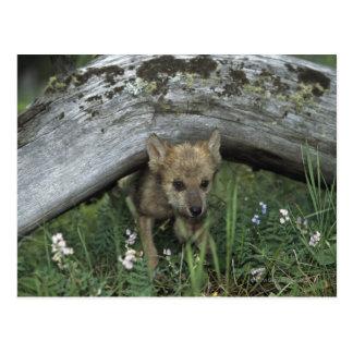 Postal Perrito de lobo que va debajo de registro